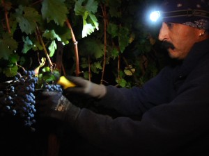 Man picking grapes at night