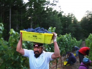 Man carrying bin of grapes